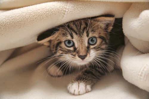 Crianza de un gato