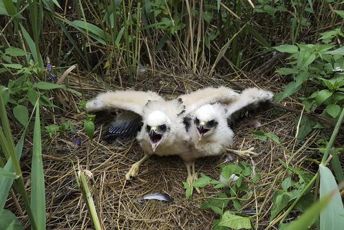 Crías de aguilucho