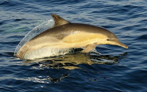 Delfín común o Delphinus delphis