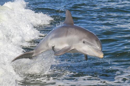 Delfín nariz de botella o mular o Tursiops truncatus