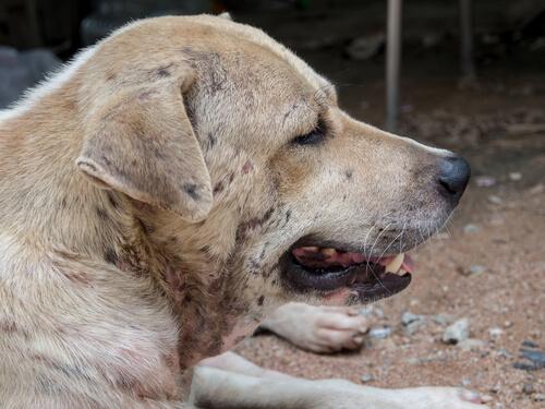 Dermatitis en perros: tipos