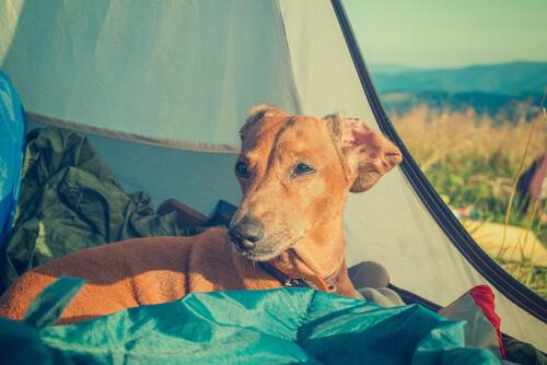Dormir con perro en tienda de campaña