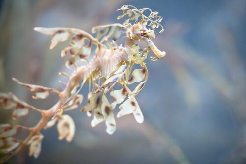 Dragón de mar foliáceo: características
