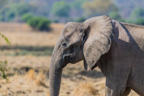 ¿Por qué cada vez hay más elefantes sin colmillos?