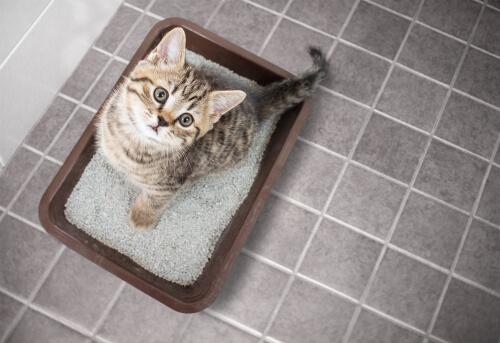 Enseñar a un gato a usar arenero