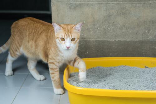 Enseñar a un gato a usar la caja de arena.