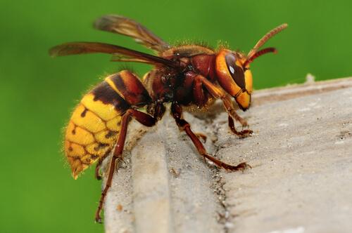 Especies de avispas: avispón
