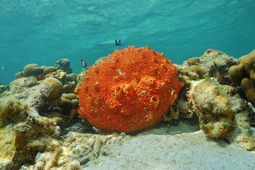 Esponjas marinas: reproducción