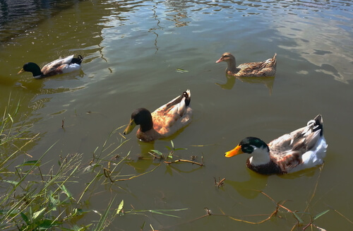 Fabricar un estanque para tus patos