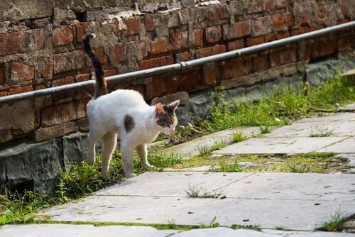 Feromonas sintéticas para gatos