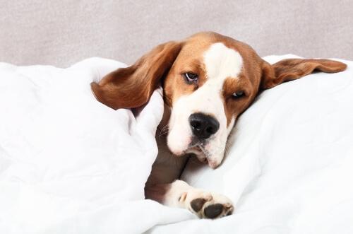 Filariosis canina: causas y tratamiento