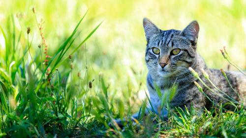 Gato común europeo: características