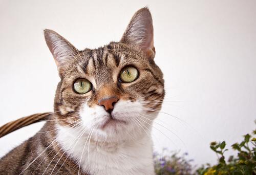 Gato común europeo: comportamiento