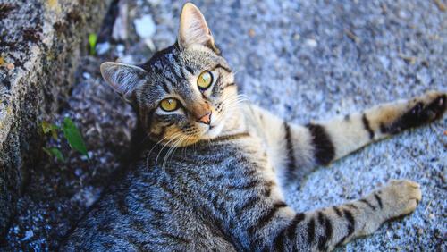 Todo sobre el gato común europeo