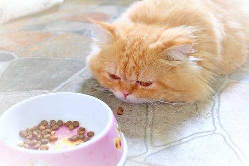 ¿Cómo alimentar a un gato enfermo?