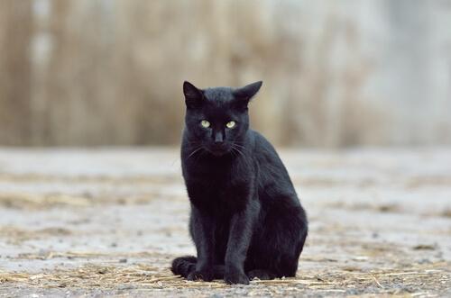 gato color oscuro