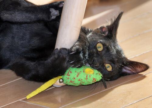 Gato pantera: carácter