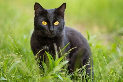 Gato pantera, características y cuidados
