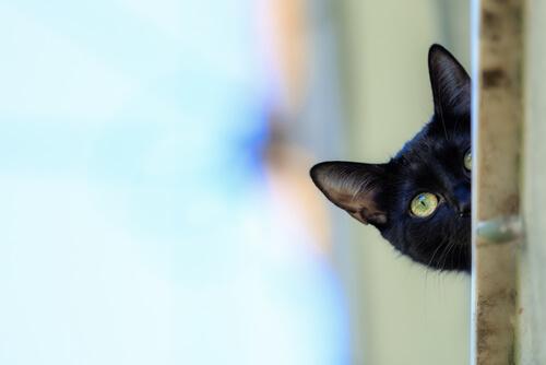 Gato pantera: cuidados
