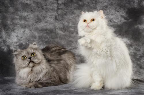 Gato persa y gato de Angora