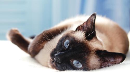 5 razas de gatos asiáticos