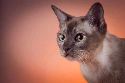 Gato tonkinés: carácter