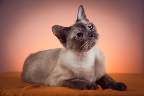 Gato tonkinés, característiscas y cuidados