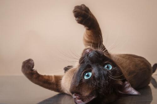 Gato tonkinés: cuidados
