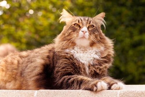 Las 5 razas de gatos más grandes