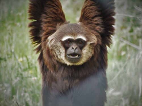 Gibón extinto