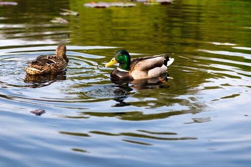 Hacer estanque para patos