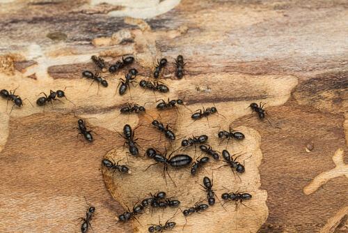 Hormiga carpintera: características