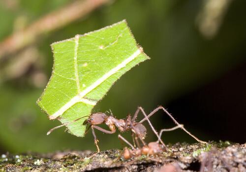 Hormiga cortadora de ojos