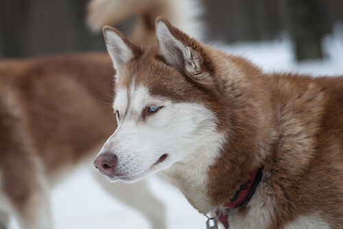 Husky: características
