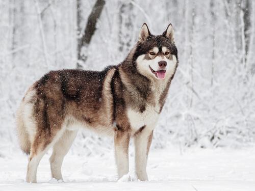 Husky siberiano: carácter