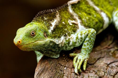 Iguana crestada de Fiji en peligro de extinción