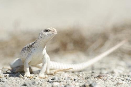 Iguana del desierto: características