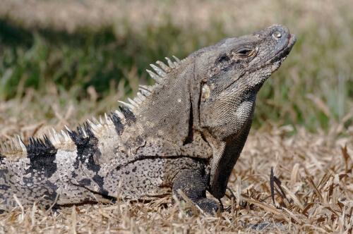 Iguana rayada (Ctenosaura similis)