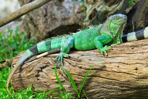 5 especies de iguanas