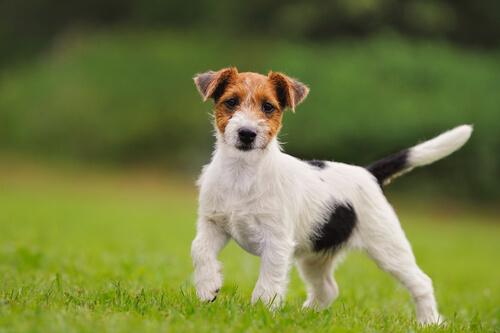 Jack Russell terrier alerta