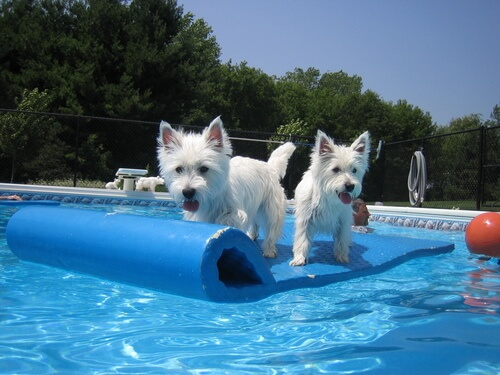 Juegos en la piscina con tu perro