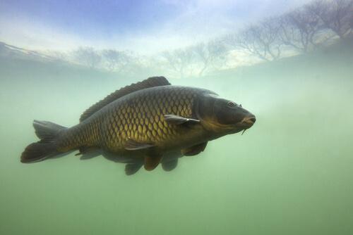La carpa, habitando aguas dulces