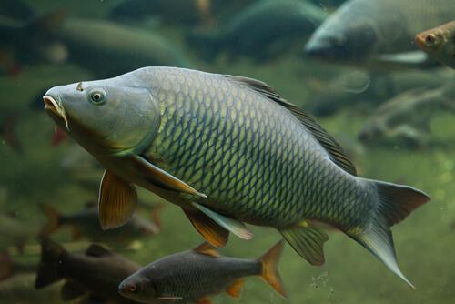 La carpa: taxonomía