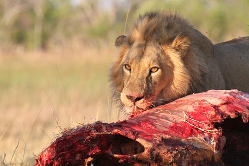 León africano: información