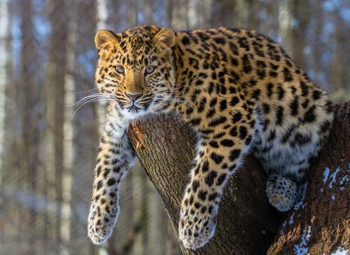 Leopardo de Amur: información