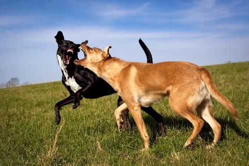 Líder de la manada en perros