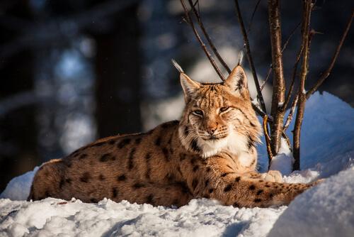 Lince boreal en peligro de extinción