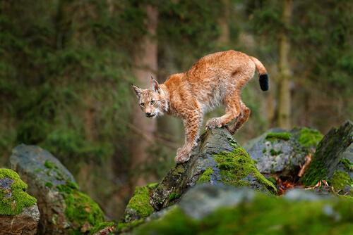 El lince europeo, amenazado por la caza