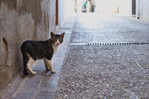 Por qué los gatos salen y vuelven a casa
