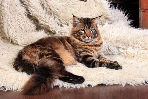 Todo sobre el Maine Coon: un gato gigante
